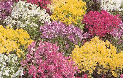 Linaria Fantasy Mix 1,000 seeds