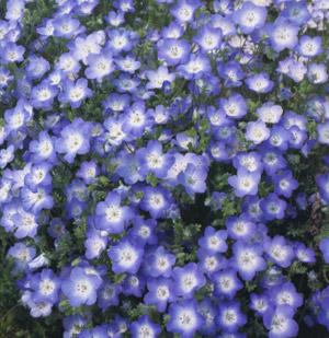 Nemophila baby blue eyes 1000 seeds mightylinksfo