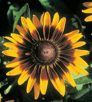how to grow rudbeckia hirta from seed