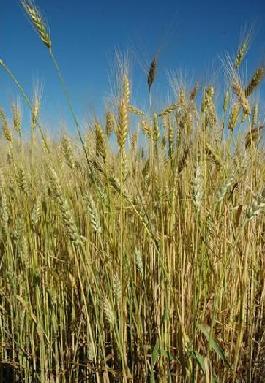 Ornamental wheat grass 1000 seeds wheat ornamental wheat grass 1000 seeds workwithnaturefo