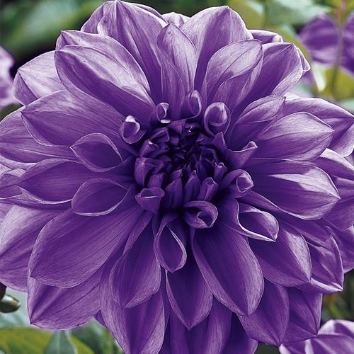 & Dahlia Dinner Plate Lilac Time (1 Bulb)