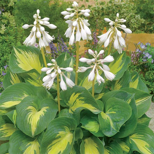 Hosta Beach Boy 1 Bare Root Hazzards Bulbs Bare Roots