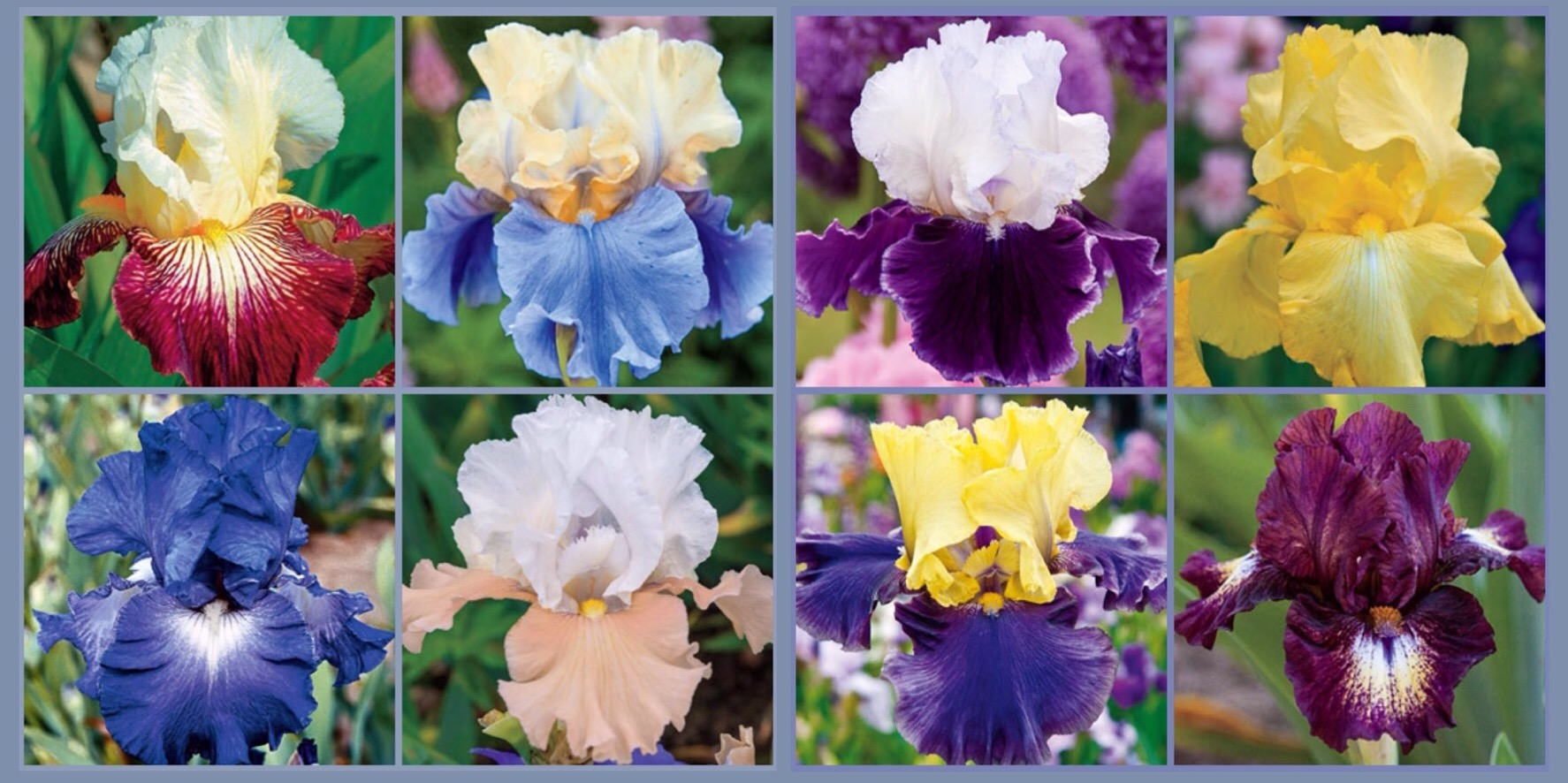 Discussion on this topic: How to Store Iris Bulbs, how-to-store-iris-bulbs/