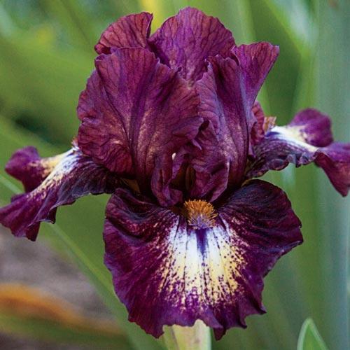 Daffodil beard