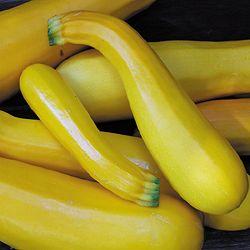 Squash Summer Zucchini Patio Golden 250 Seeds